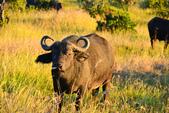 東非:buffalo4_r.jpg