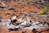 Galapagos:booby48.JPG