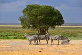 東非:zebra7_r.jpg