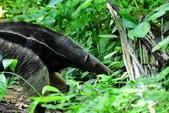 玻利維亞:Anteater.JPG