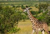 東非:giraffe5.JPG