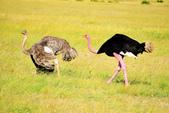東非:ostrich1_r.jpg