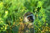 東非:vernet_monkey_r.jpg