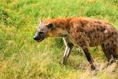 東非:hyena5_r.jpg