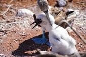 Galapagos:booby65.JPG