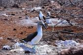 Galapagos:booby56.JPG