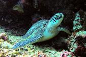 印尼美娜多泗水:turtle1.jpg