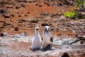 Galapagos:booby43.JPG