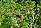 玻利維亞:Parrot33.JPG