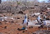 Galapagos:booby55.JPG