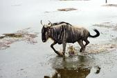 東非:wildebeest1_r.jpg