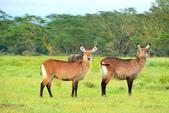 東非:waterbuck2_r.jpg