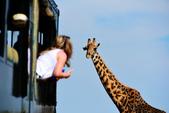 東非:Giraffe1_r.jpg