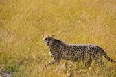 東非:Cheetah2.JPG