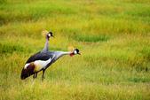 東非:crane3_r.jpg