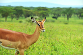 東非:gazelle1_r.jpg