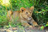 東非:lion5_r.jpg