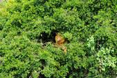 東非:lion6_r.jpg
