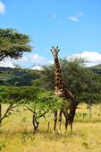 東非:giraffe6_r.jpg