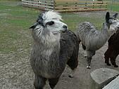 紐西蘭風景篇:灰色羊駝.JPG