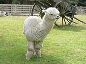 紐西蘭風景篇:白色羊駝.JPG