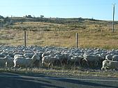 紐西蘭風景篇:大批羊群.JPG