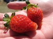 2012.1.27 大湖草莓&巧克力雲莊:鮮紅欲滴草莓
