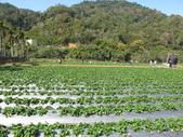 2012.1.27 大湖草莓&巧克力雲莊:草莓我來了(疑?因暖冬+過年較早,所以今年草莓較晚熟)