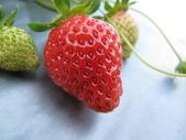 2012.1.27 大湖草莓&巧克力雲莊:所以能採的有限丫(好可口的草莓)