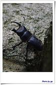 打印趣 第三篇 仙跡岩 指南宮貓空親山步道 指南茶路親山:受傷的鍬形蟲.jpg