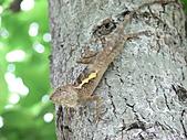 2007.4.1關西:攀木蜥蜴