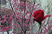 我家花兒又開了。:20110216_6585.JPG