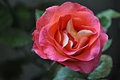 我家花兒又開了。:20110216_6579.JPG