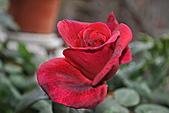 我家花兒又開了。:20110216_6569.JPG