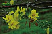 黃櫻花:未命名-5-04.jpg