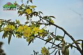 黃櫻花:未命名-5-01.jpg