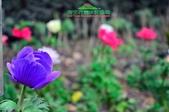 【2015線上賞花】:白頭翁3.jpg