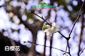 【2015線上賞花】:20150125-1白櫻花.jpg