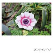 【2015線上賞花】:白頭翁.jpg