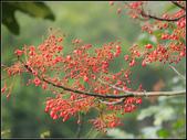 【2015線上賞花】:槭葉酒瓶樹