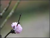 【2015線上賞花】:牡丹櫻花