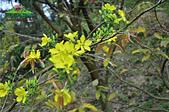 黃櫻花:未命名-5-05.jpg