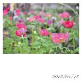【2015線上賞花】:白頭翁2.jpg