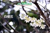 【2015線上賞花】:1040125白櫻花.jpg