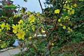 黃櫻花:未命名-5-06.jpg