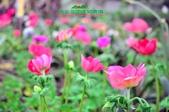 【2015線上賞花】:白頭翁4.jpg