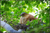 黑冠麻鷺:IMGP1656.JPG