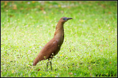黑冠麻鷺:IMGP0675.JPG