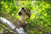 黑冠麻鷺:IMGP0813.JPG