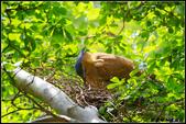 黑冠麻鷺:IMGP0817.JPG